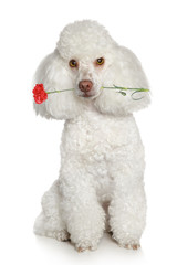 Wall Mural - Toy poodle on a white background