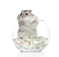Asian hamster on white background