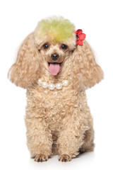 Charming apricot poodle with beads
