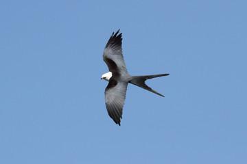 Fotoväggar - Swallow-tailed Kite