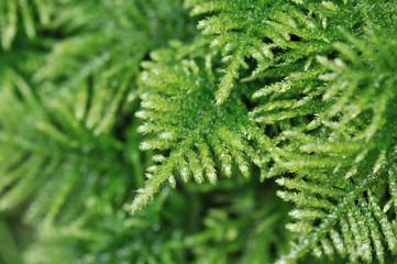 Green moss lichen in the rain