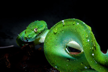 green tree python against a dark background