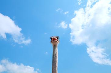 Tall ostrich in the clouds
