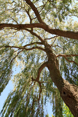 Looking up a large Weeping Willow