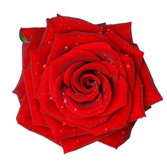 Red Rose with Water Drop - isolated