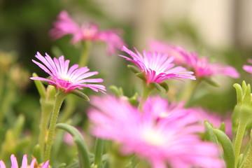 ピンクのデイジー畑