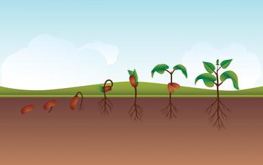 Seeding / Growing process vector illustration