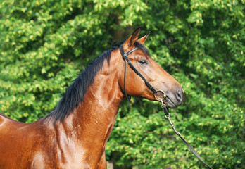 portrait of beautiful bay young stallion