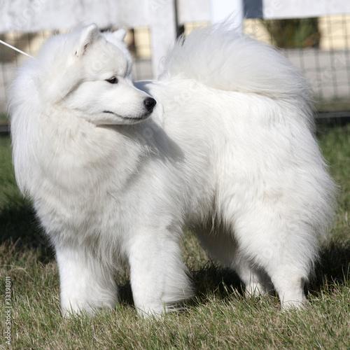 gros chien blanc aux magnifiques poils longs tenu en