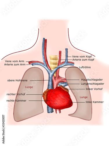 anatomie lunge\