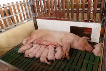 Allaitement des cochons