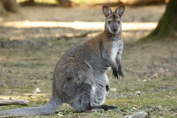 Wallaby de Benett (Macropus rufogriseus)