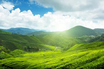 Poster Hill Tea plantation Cameron highlands, Malaysia