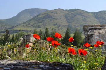 Wild flowers at Hierappolis in Turkey