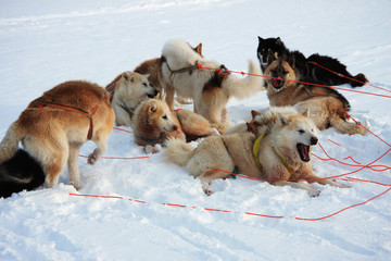 Greenlandic sled dogs relaxing in snow