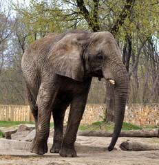 Aluminium Prints Elephant Słoń