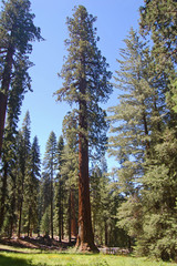 general sherman, largest tree in the world