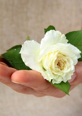 white rose in the man's hand -  gift  concept