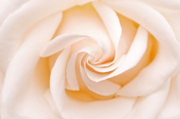 White rose, closeup shot, abstract background