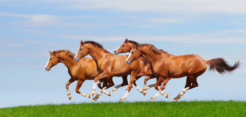 Fotoväggar - Four trakehner sorrel stallions gallop