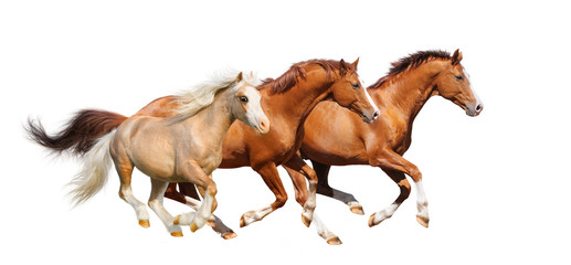 Wall Mural - Three sorrel horses gallop  - isolated on white