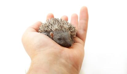 Small hedgehog on hand