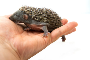 Hedgehog on hand