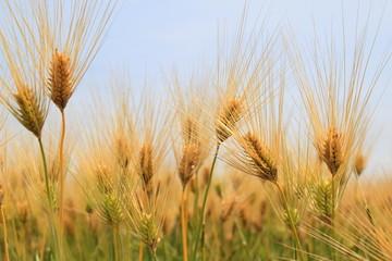 大麦 wheat