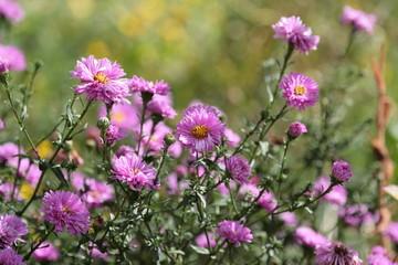 Astern in Violett im Garten