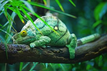Green male chameleon
