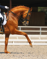 Dressage: portrait of sorrel horse