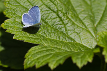 Holly Blue butterfly on green leaf