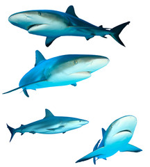 Sharks (Reef Sharks) on white background