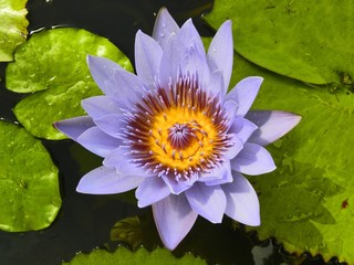 Fiore Ninfea Viola-Purple Water Lily Flower