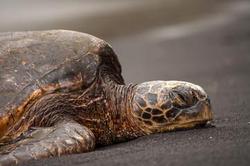 Sea turtle profile