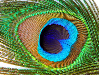 Closeup of Peacock Feather
