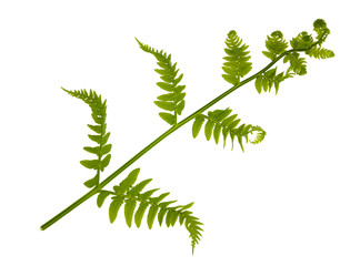 single young green fern branch