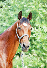 wonderful  bay trakehner mare