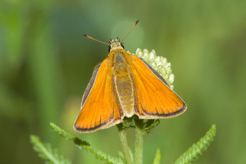 Thymelicus sylvestris / small skipper