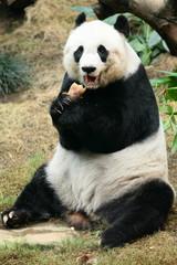 lovely giant panda in Hong Kong Ocean Park