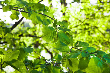 Green leaves of a hazel grove in the daytime