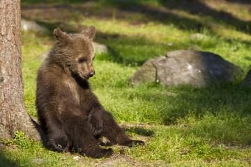 Brown bear cub (Ursus  arctos) resting in the sunshine