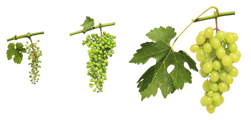 Development of grapes clusters