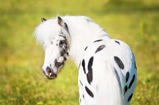 Appaloosa pony portrait