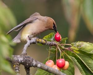 Cedar-Waxwing Eating a Cherry