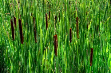 Close-Up of Tall Cat-tails ( Typha latifolia )
