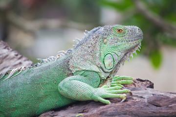 green iguana on wood
