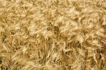 coup de vent dans un champ de céréales