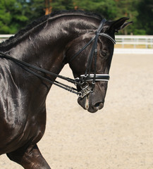 Dressage: portrait of black horse