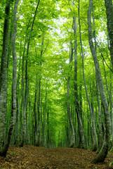 ブナの森の小道